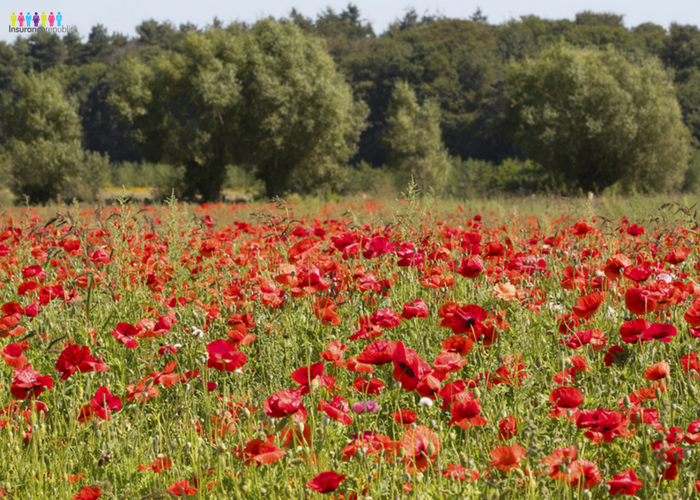 Flanders Fields Poppys